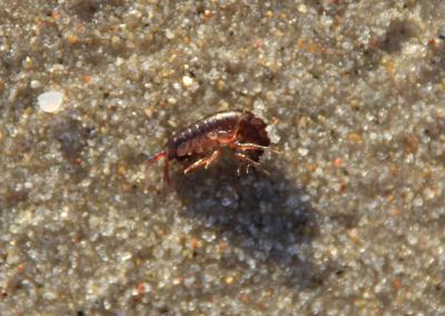 Small crab (Baltic Sea)