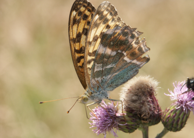 Painted lady (Butterfly)