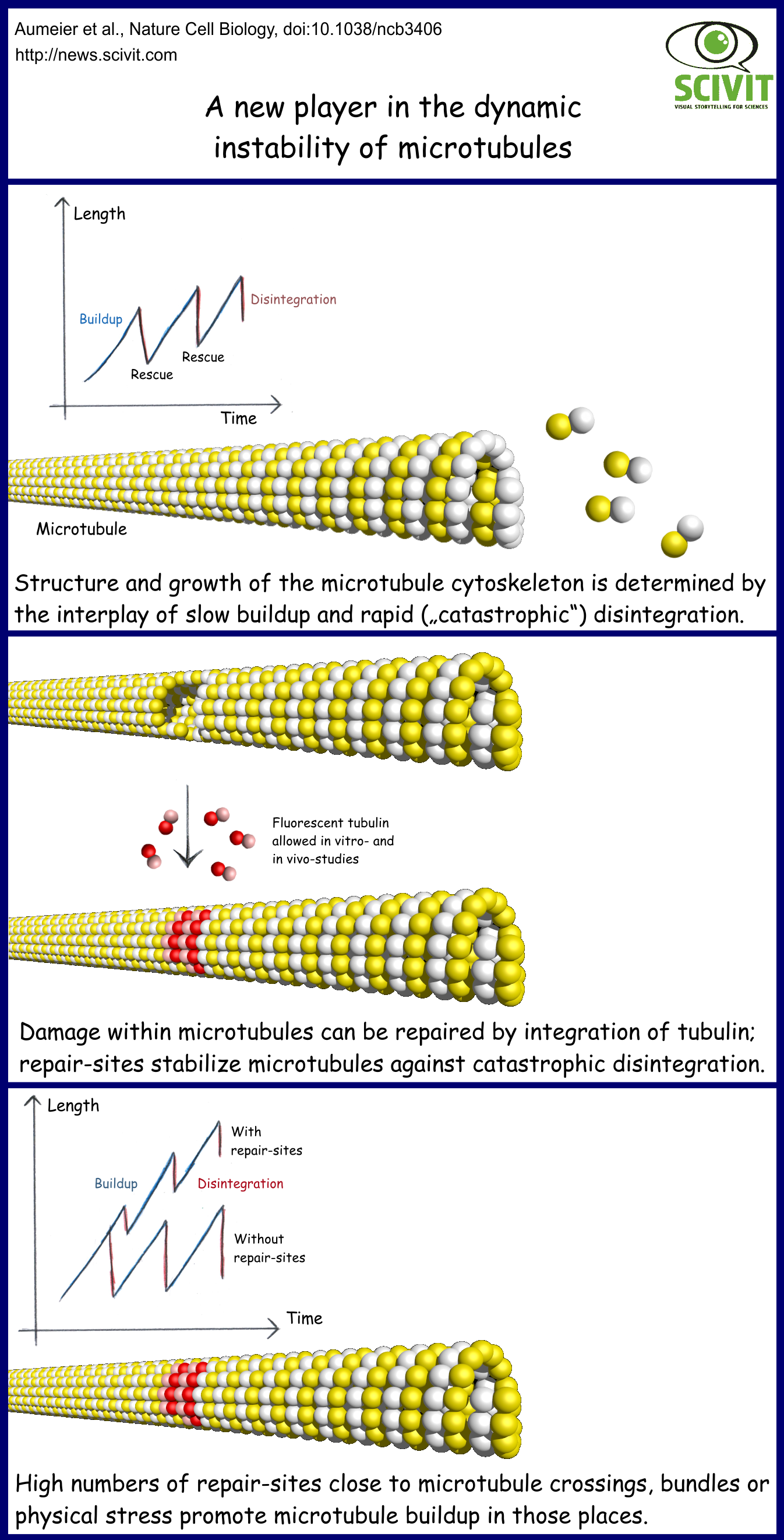 A new player in the dynamic instability of microtubules