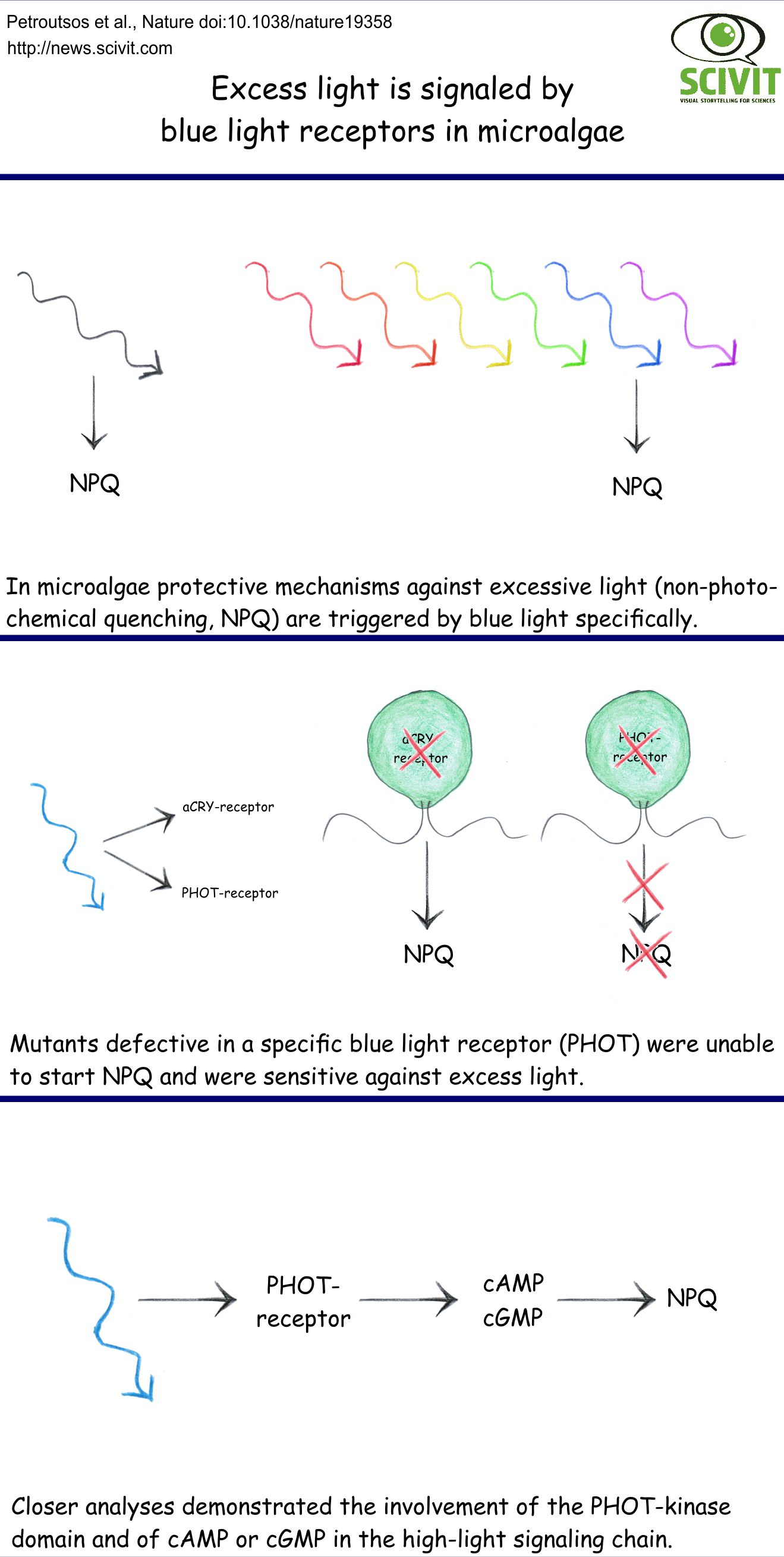 Excess light is signaled by blue light receptors in microalgae