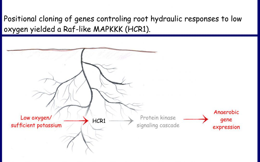 Plant root signaling in response to low oxygen