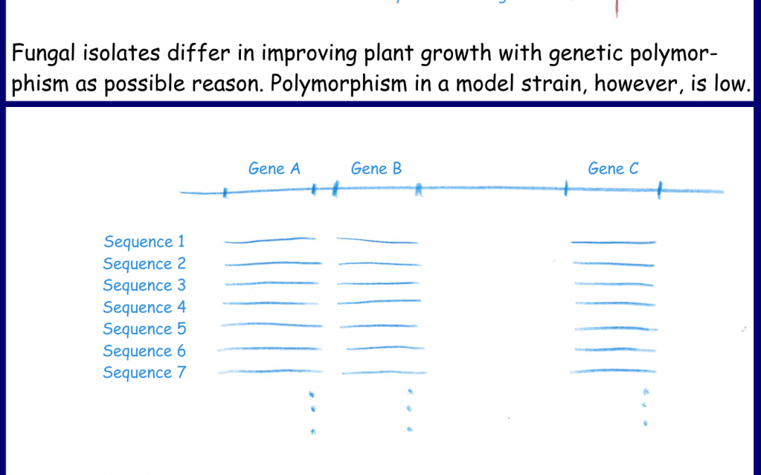 Arbuscular mycorrhizal fungi: Native strains are more polymorphic than the model