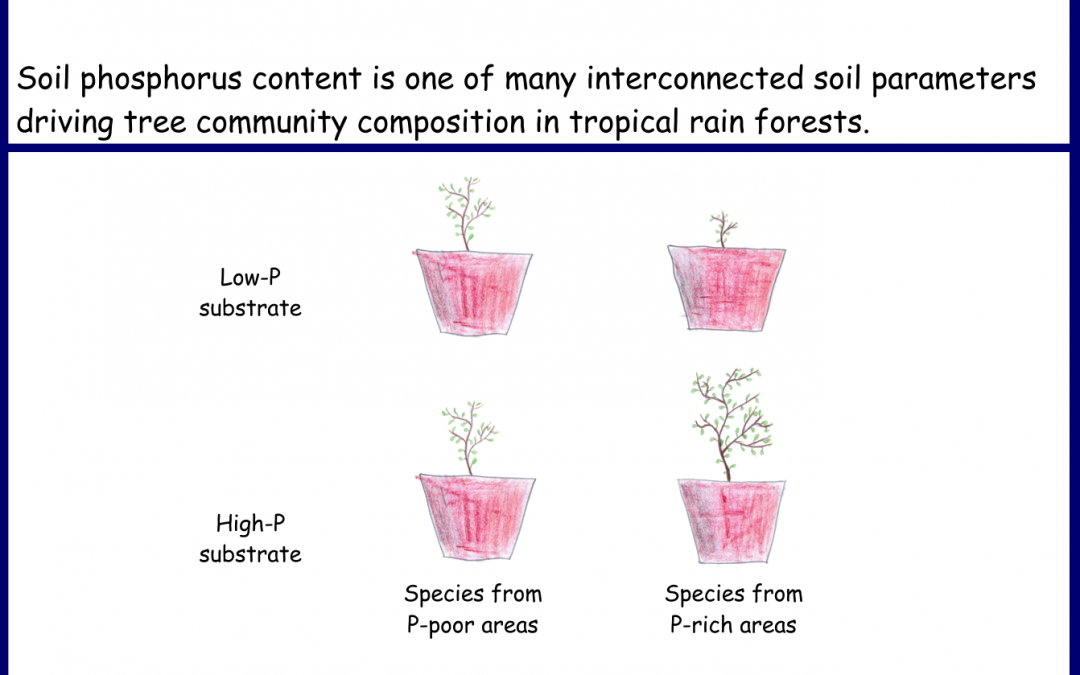 Soil phosphorus is affecting tree species composition in tropical rain forests