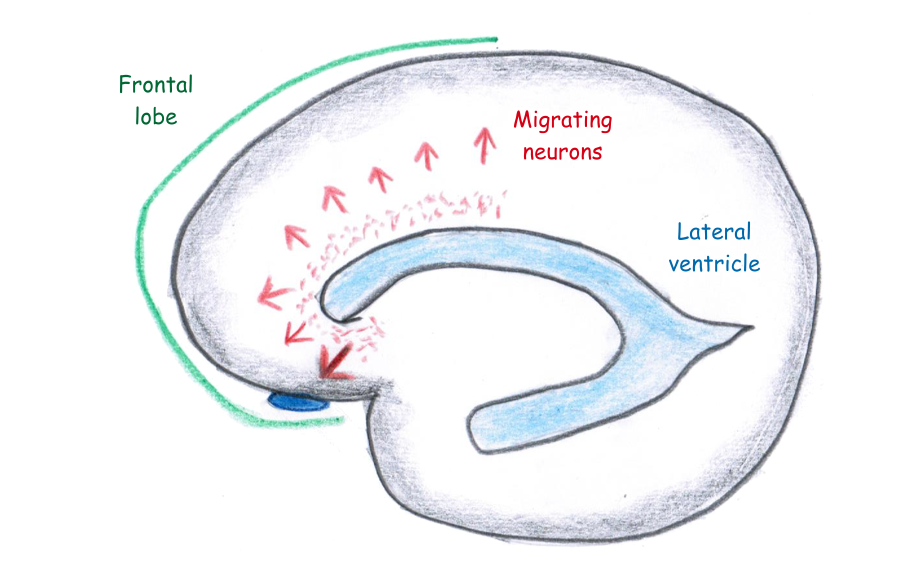 Neuron migrations in young infant's brains
