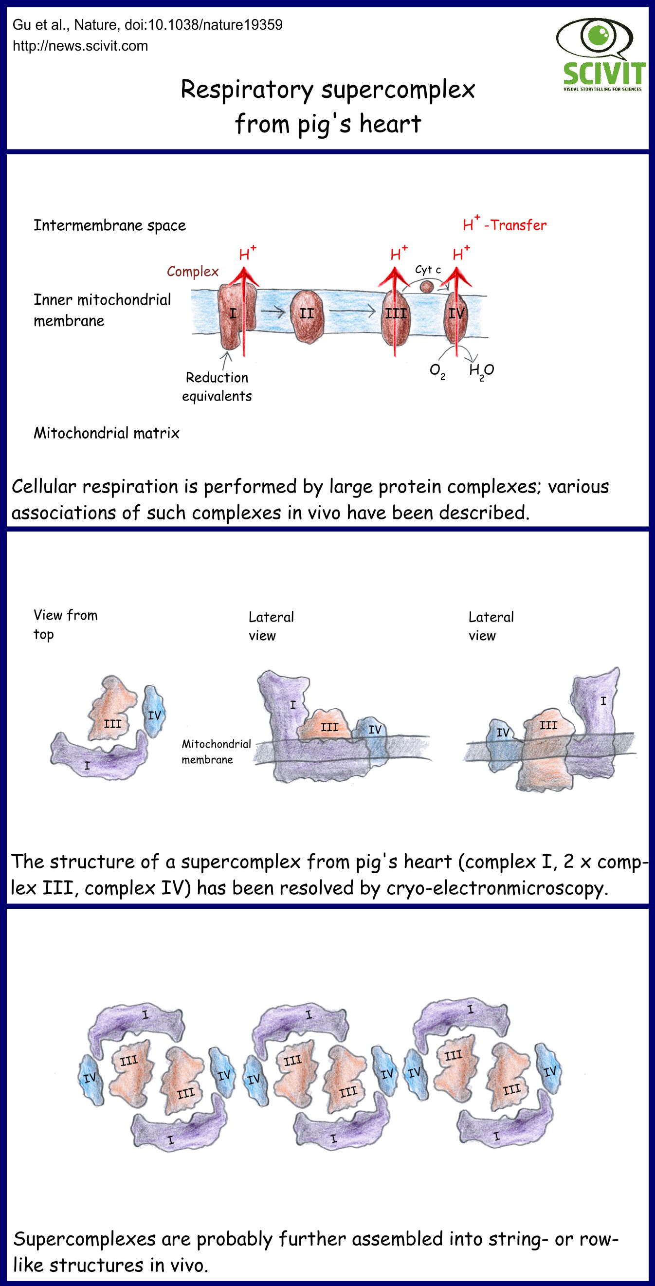 Respiratory supercomplex from pig's heart