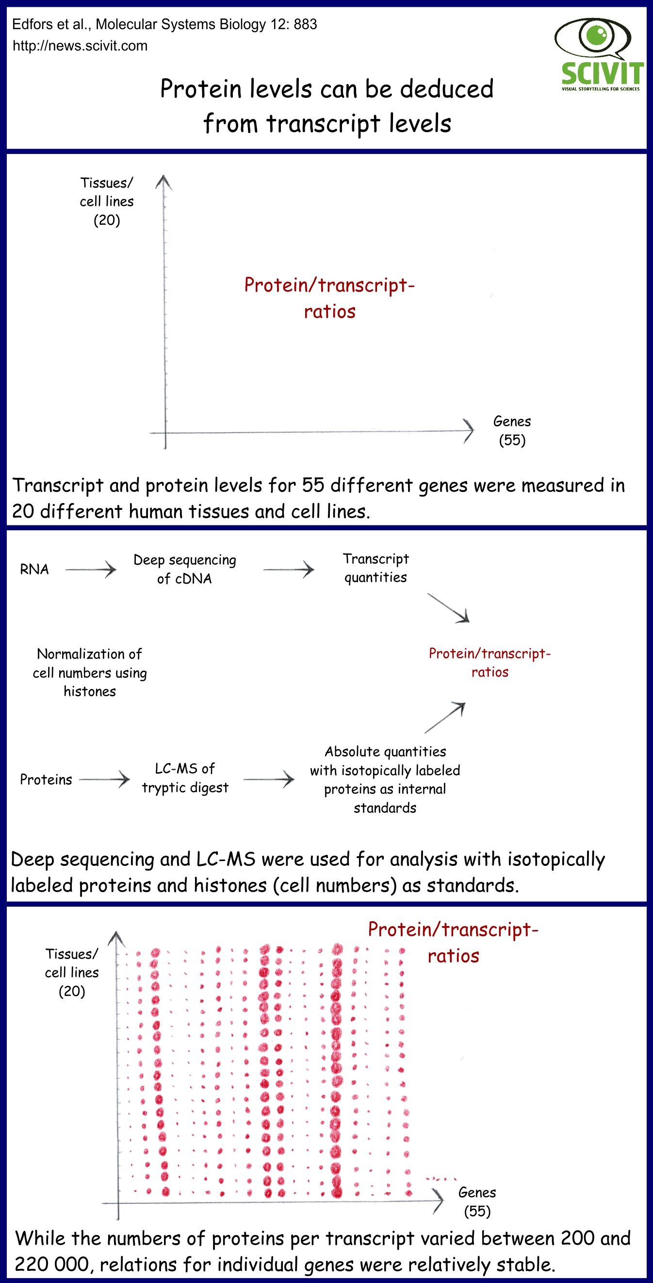 Protein levels can be deduced from transcript levels