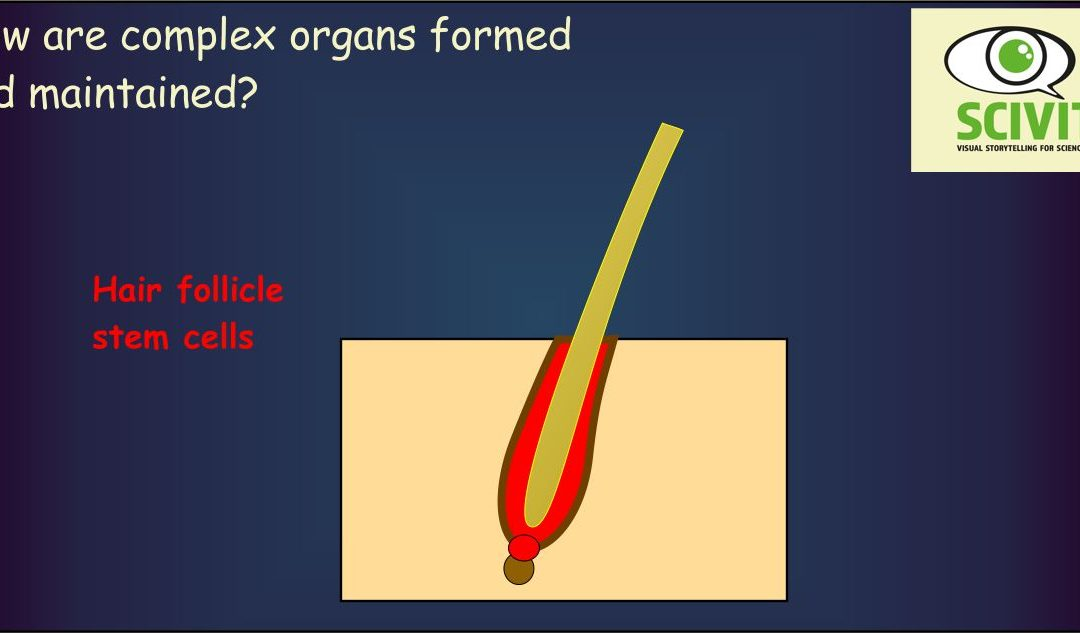 How are complex organs formed and maintained?