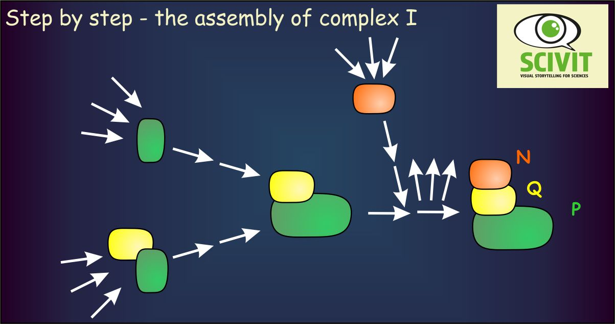 Step by step - the assembly of complex I