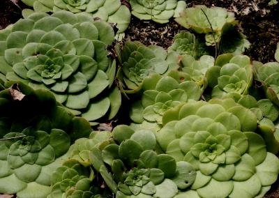 Aeonium (Madeira)