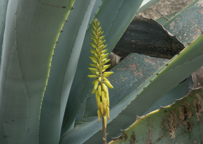 Aloe (Madeira)