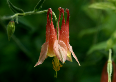 Akelei (Aquilegia canadensis, Missouri, USA)
