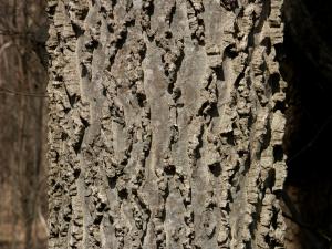 Baumrinde (Missouri, USA)