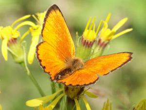 Chrysophanus virgaureae (Brocken)