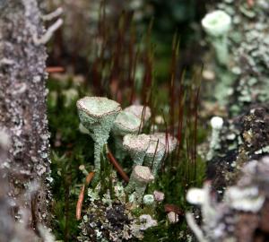Cladonia fimbriata (Trompetenflechte, Brocken)