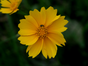 Coreopsis (Missouri, USA)