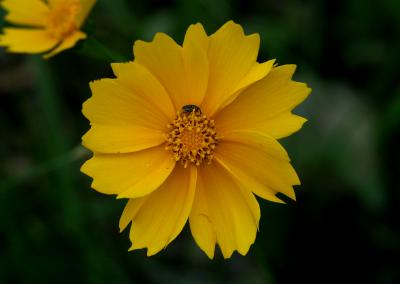 Coreopsis (Missouri, USA)