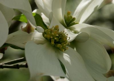 Dogwood (Cornus florida, Missouri, USA)