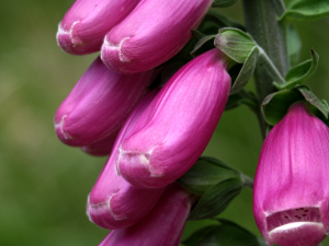 Fingerhut (Digitalis purpurea)