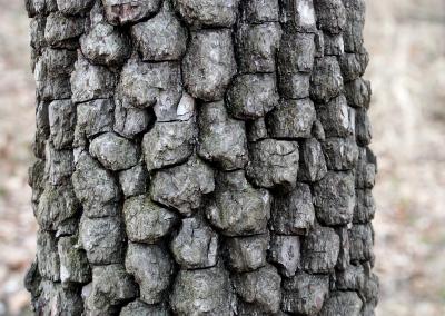 Amerikanische Persimone (Diospyros virginiana, Missouri, USA)