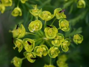 Zypressen-Wolfsmilch (Euphorbia cyparissias, Brocken)