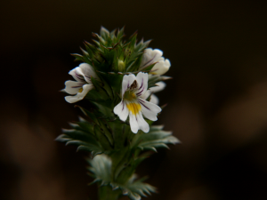 Augentrost (Euphrasia officinalis, Brocken)