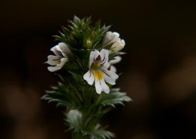 Augentrost (Euphrasia officinalis, Brocken)