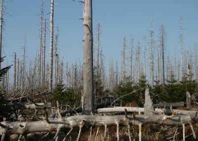 Borkenkäferschäden am Brocken