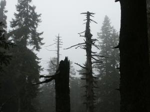 Bergwald am Brocken