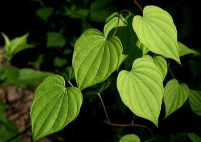 Blätter (Missouri, USA)