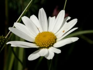 Magerwiesen-Margerite (Leucanthemum vulgare, Brocken)