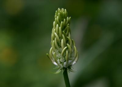 Ährige Teufelskralle (Phyteuma spicatum, Brocken)