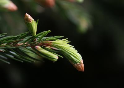 Fichte (Picea abies, Brocken)