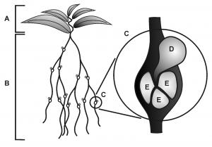 Abbildung zu Plant Cell Monogr (2008)