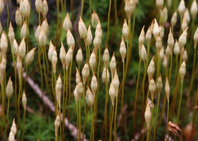 Frauenhaar (Polytrichum, Brocken)