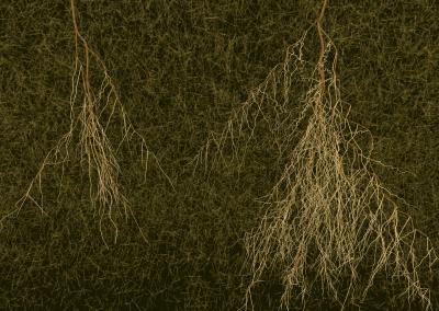 Wurzelsystem von Ericaceen