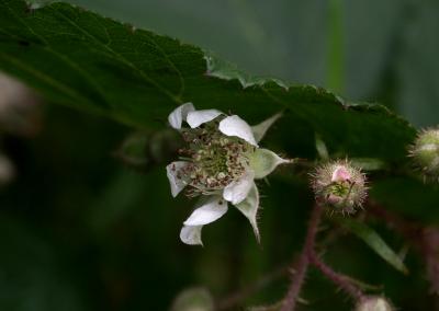 Brombeere (Rubus, Brocken)