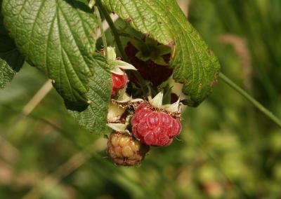 Himbeere (Rubus idaeus, Brocken)