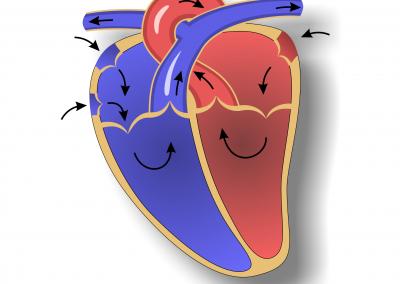 Anatomie des Herzen