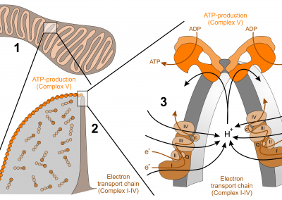 Topology of the respiratory chain