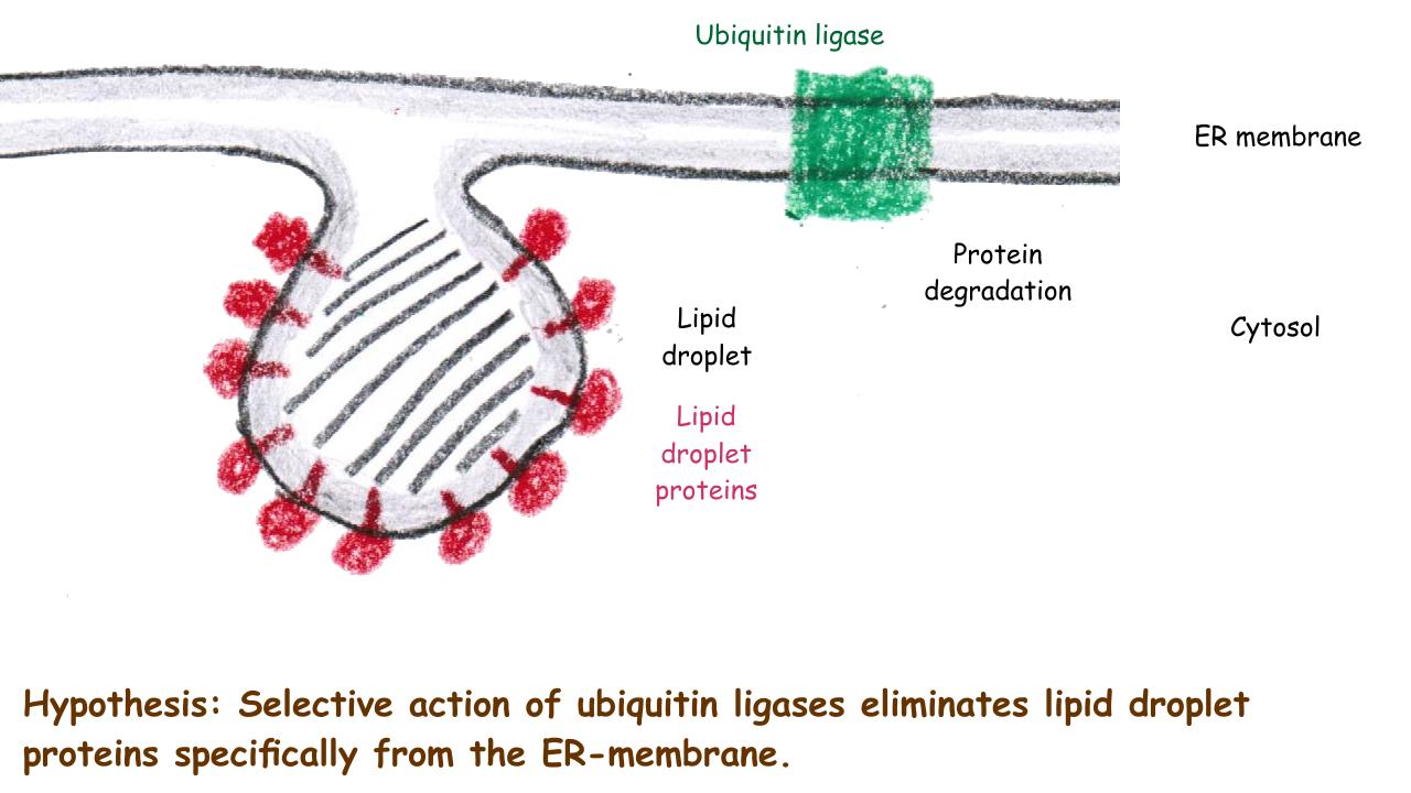 ER-Protein-Sorting to Lipid Bodies #2