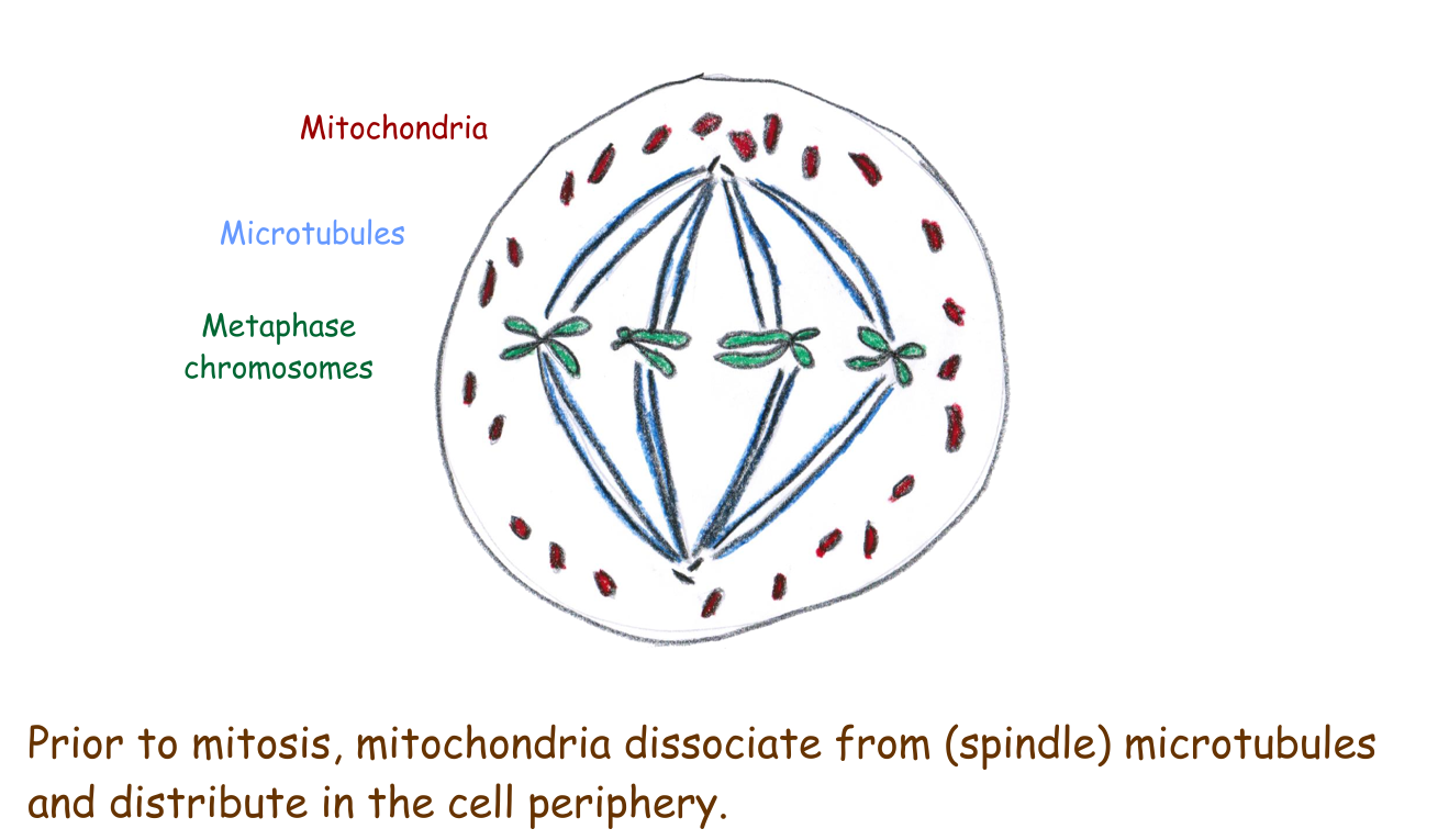 Mitochondrial distribution during mitosis - Scivit News #a