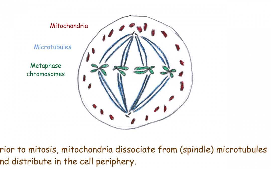 Mitochondrial distribution during mitosis