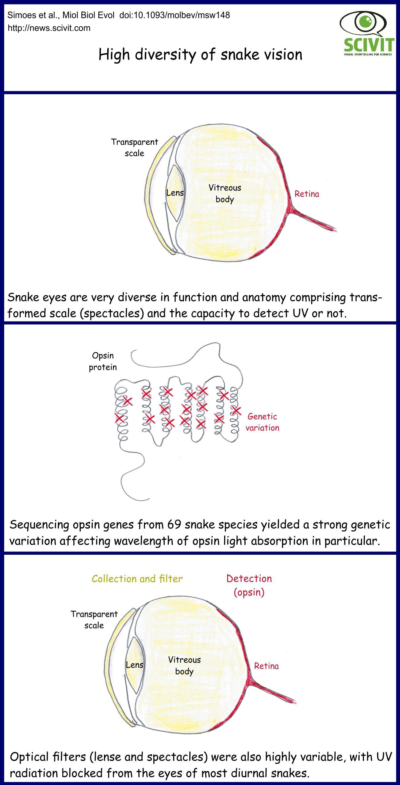 High diversity in snake vision