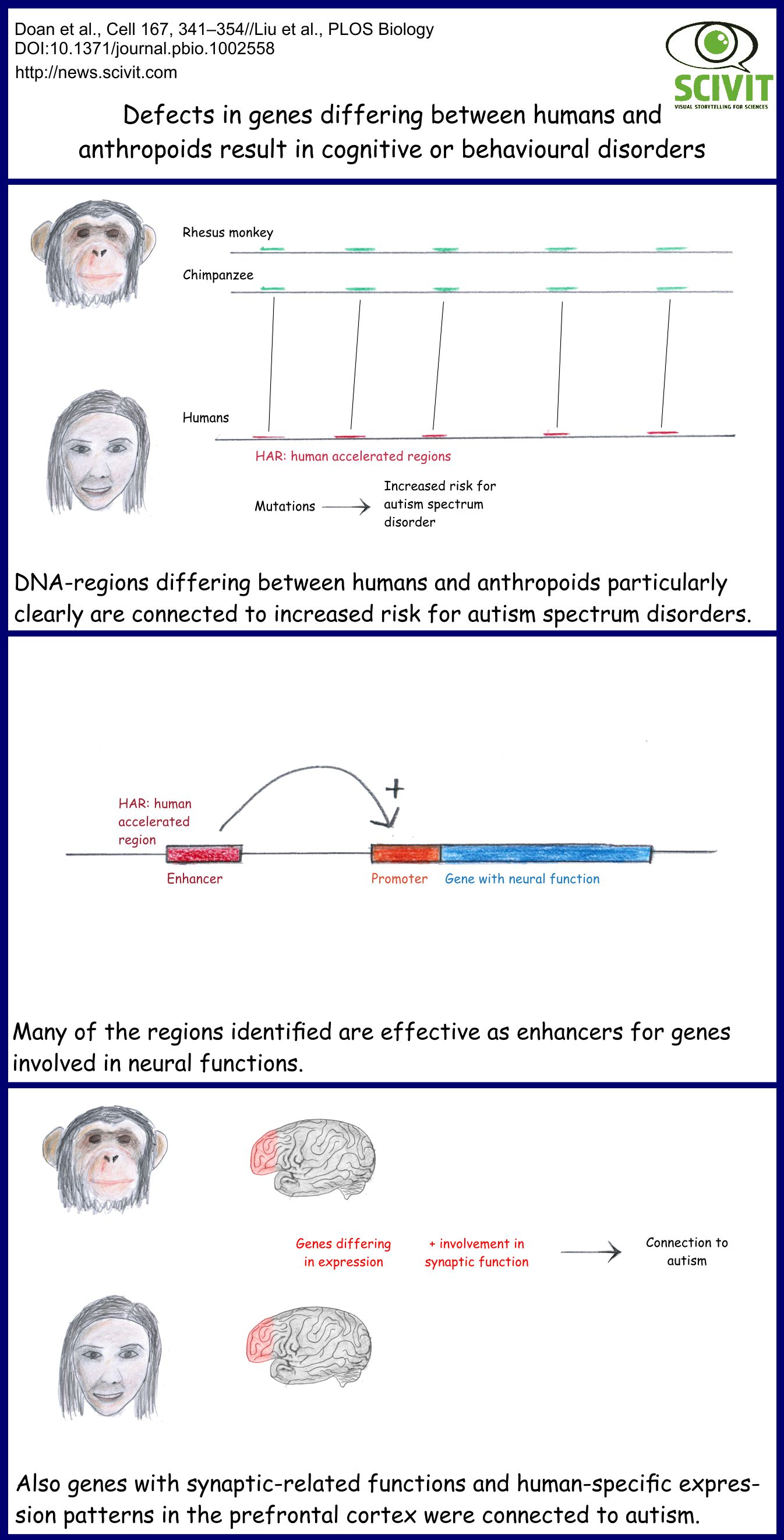DNA-regions particularly differing between humans and their closest relatives are connected to an increased risk for autism. Many of the regions identified were active as enhancers for genes involved in neural functions. Also a group of genes with synaptic-related functions and human-specific expression pattern in the pre-frontal cortex was connected to autism.
