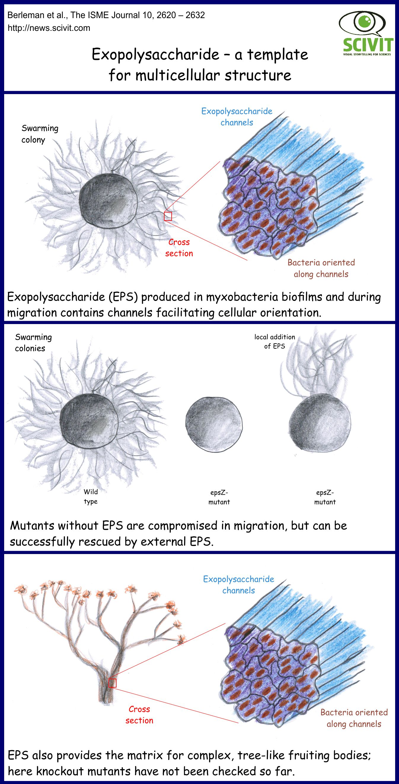 Exopolysaccharide – a template for multicellular structures