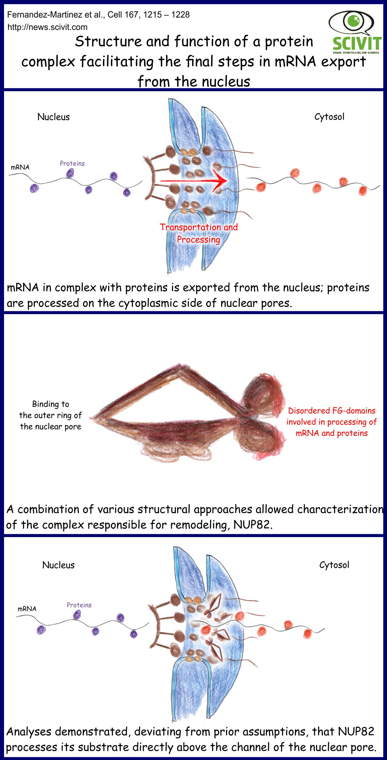 Structure and function of a protein complex facilitating the final steps in mRNA export from the nucleus