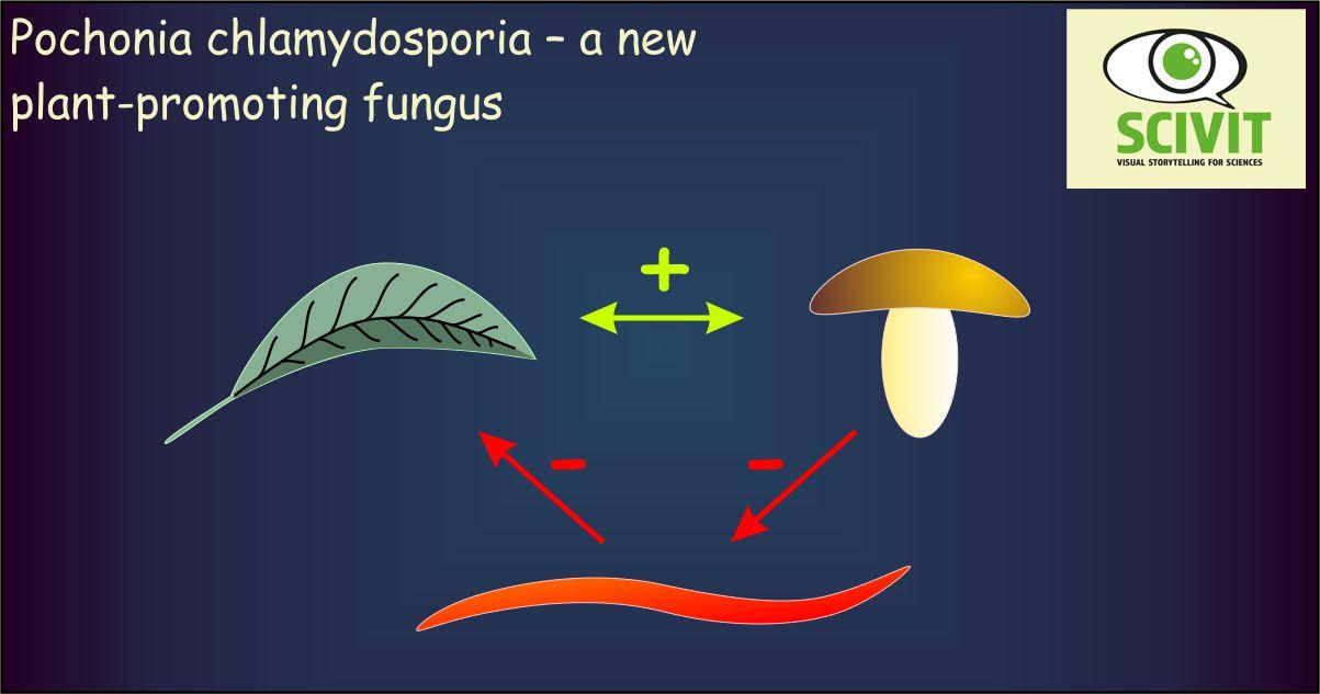 Pochonia chlamydosporia – a new plant-promoting fungus