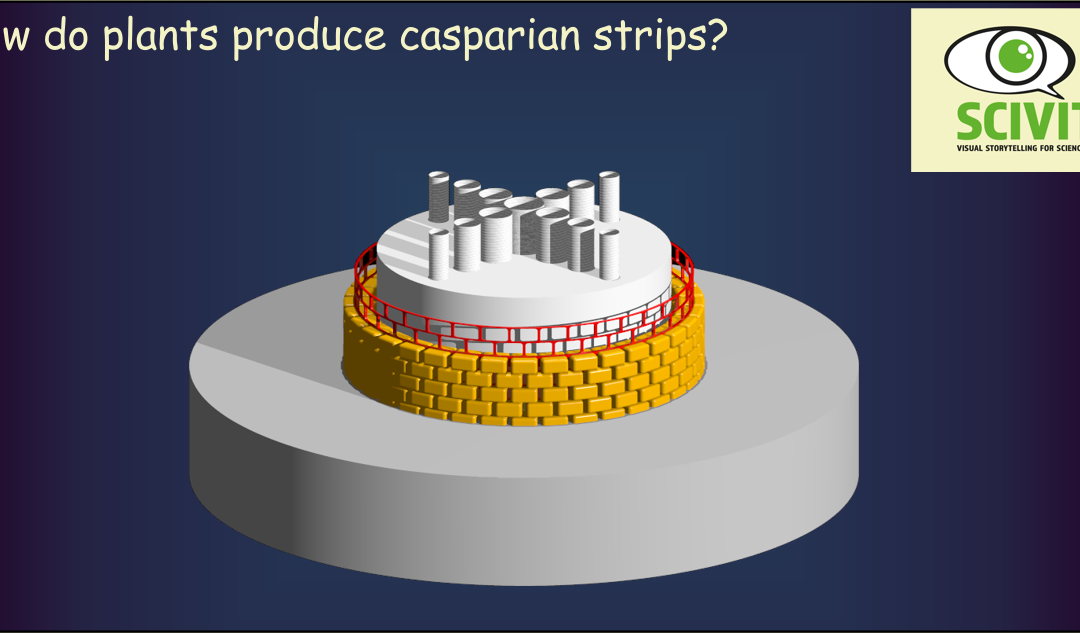 How do plants produce Casparian strips?