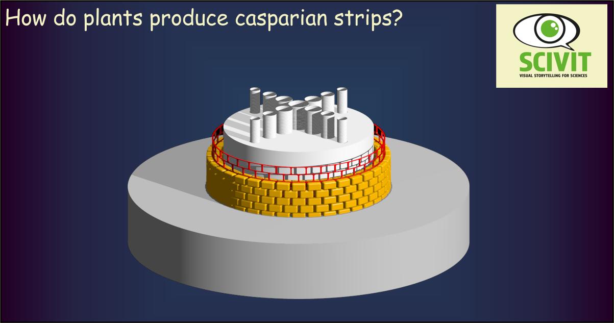 How do plants produce Casparian strips?