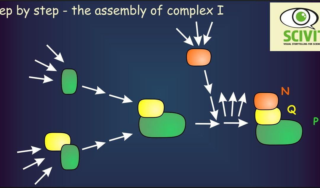 Step by step – the assembly of complex I